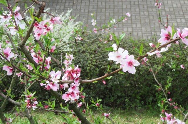 アーモンドの花2
